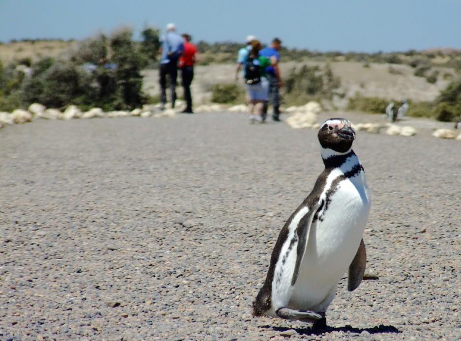 COLÔNIA DE PINGUINS: Localizada a 170 km de Puerto Madryn, na Patagônia Atlântica, Punta Tombo abriga uma impressionante (e desengonçada) colônia de pinguins-de-magalhães, entre agosto e abril. Considerada a maior colônia do gênero em todo o mundo, o local abriga mais de 400 mil animais por temporada (foto: Eduardo Vessoni)