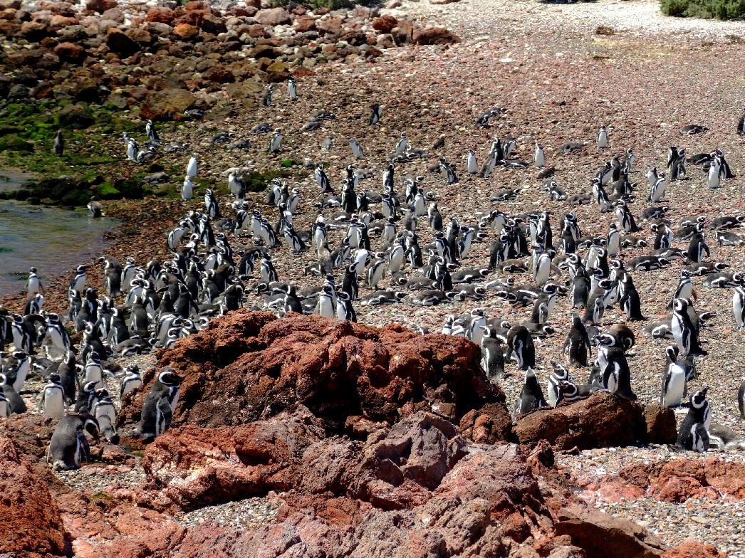 Pinguim-de-magalhães, em Punta Tombo, na Patagônia argentina (foto: Eduardo Vessoni)