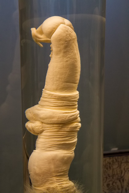 Exemplar de um pênis de girafa exposto no Icelandic Phallological Museum, na Islândia (foto: Divulgação)
