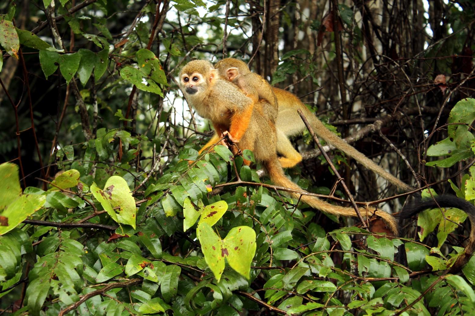 Macacos na região de Ariaú, na Amazônia (foto: Eduardo Vessoni)