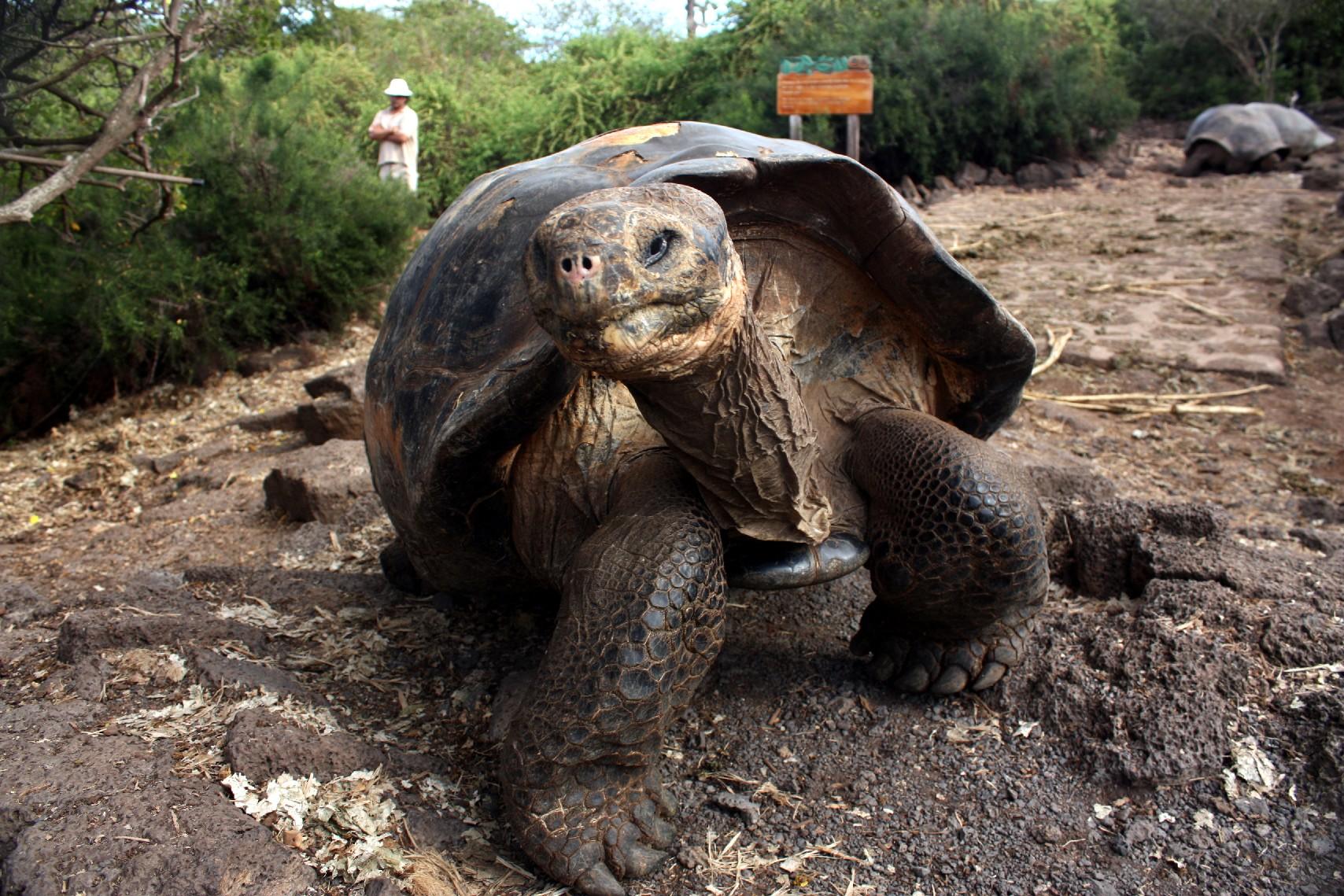 Tartarugas gigantes da Fundação Charles Darwin, no arquipélago de Galápagos (foto: Eduardo Vessoni)