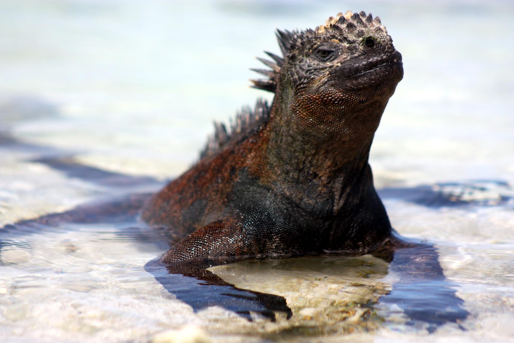 Iguana marinha, espécie única encontrada apenas no arquipélago de Galápagos, no Equador (foto: Eduardo Vessoni)