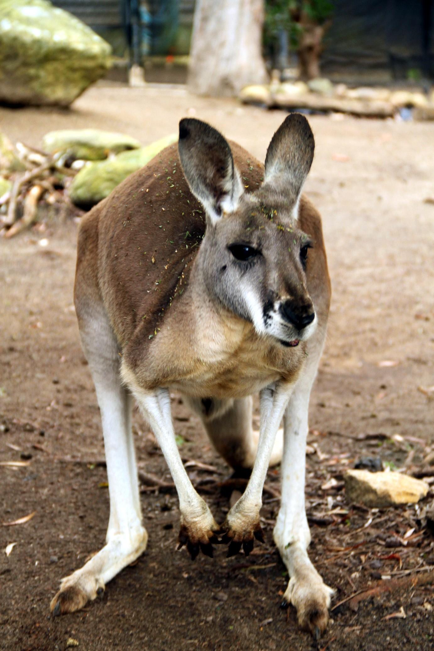 Marsupiais típicos da Austrália podem ser visto no Taronga Zoo, em Sydney (foto: Eduardo Vessoni)