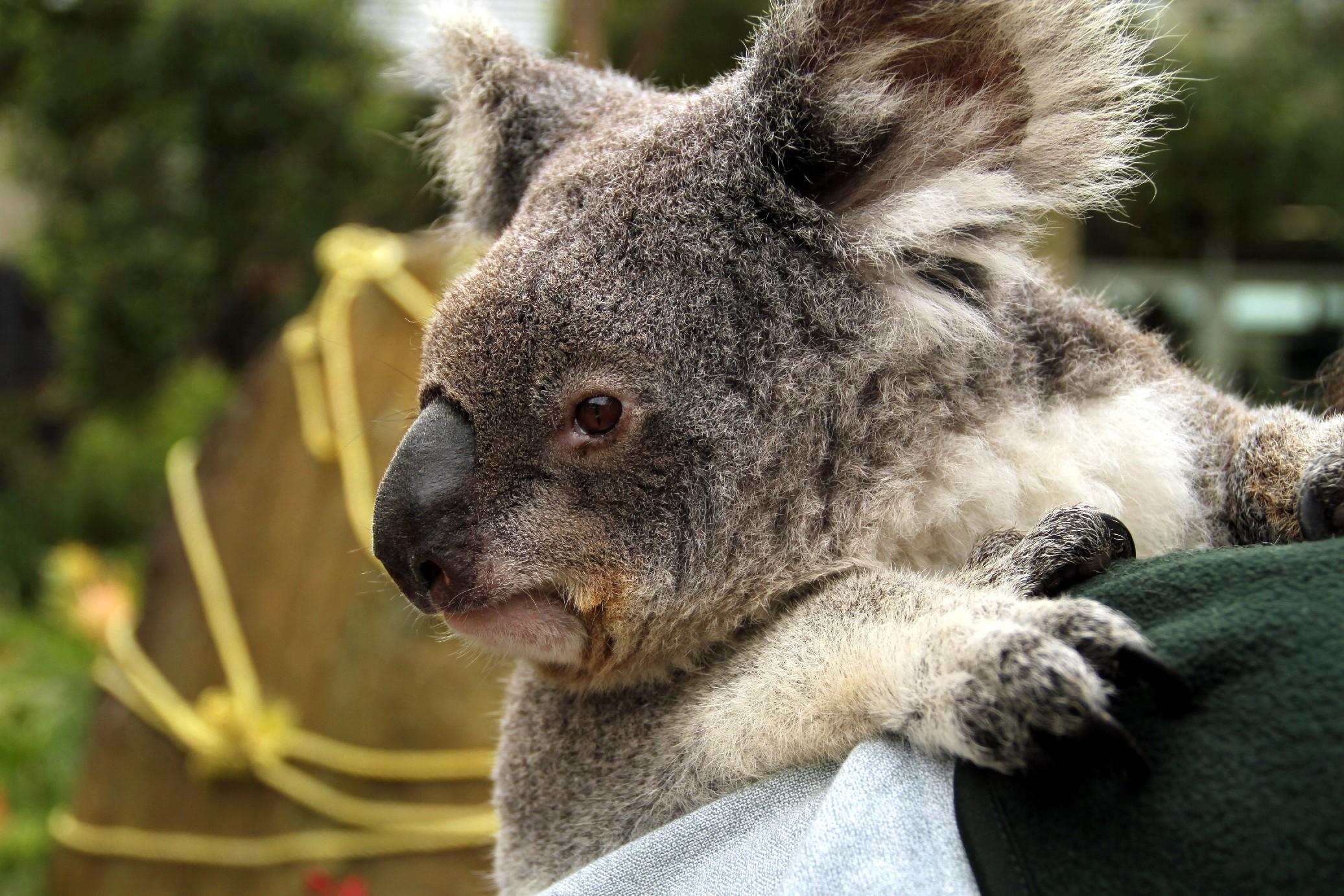 Marsupiais típicos da Austrália como os coalas podem ser vistos no Taronga Zoo, em Sydney (foto: Eduardo Vessoni)