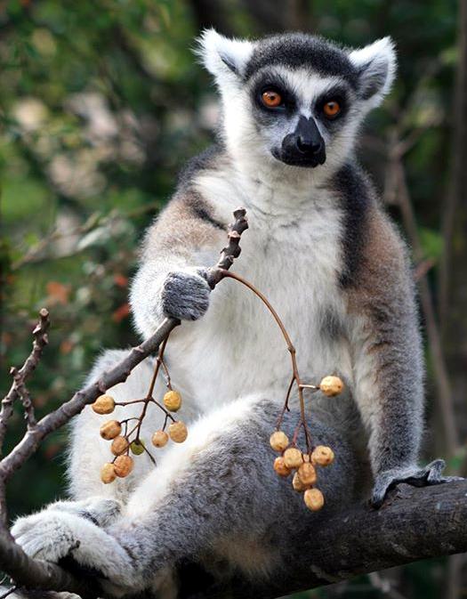 Lêmur de Madagascar (foto: Office du Tourisme de Madagascar / madagascar-tourisme.com)