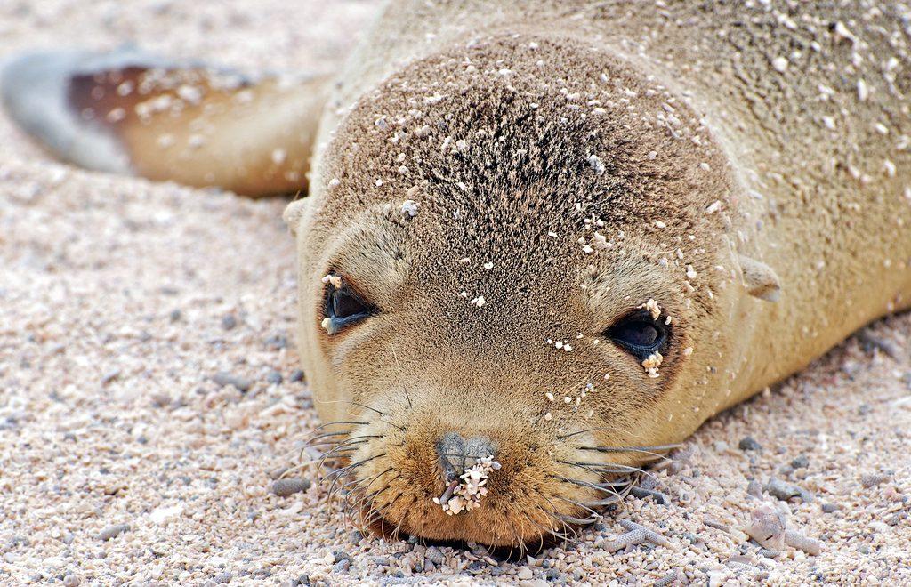 Filhote de leão-marinho em praia da Ilha de Seymour Norte, em Galápagos (foto: A.Davey/Flickr-Creative Commons)