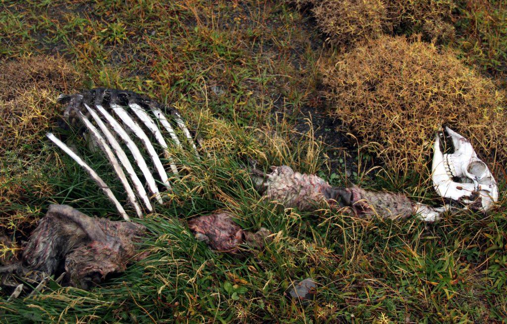 Esqueleto de guanaco visto durante a trilha 'Orígenes de la Vida', na Patagônia chilena (foto: Eduardo Vessoni)