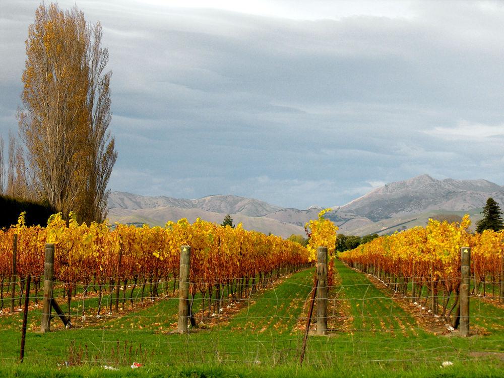 Marlborough é a famosa região dos vinhos Sauvignon Blanc, responsável pela produção de até 3/4 dos vinhos da Nova Zelândia (foto: Phillip Capper/Flickr-Cretive Commons)