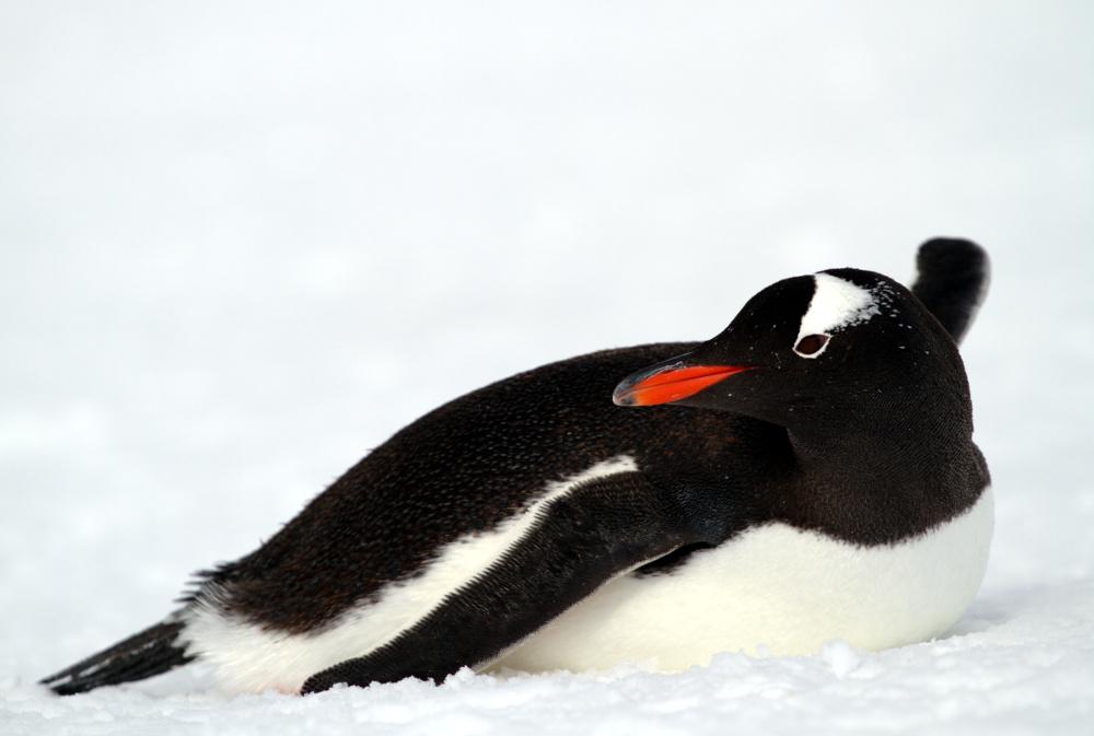 Pinguins-gentoo, na Península Antártica (foto: Eduardo Vessoni)