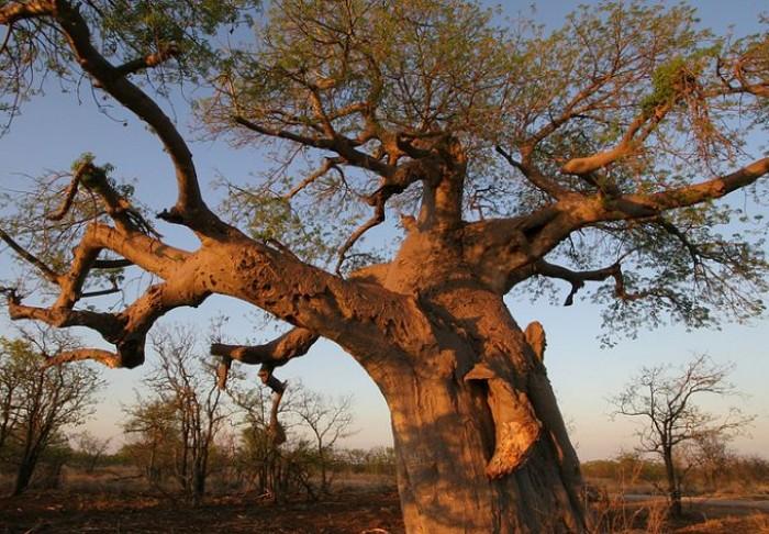 Baobá em Polokwane, na província de Limpopo, na África do Sul (foto: South Africa Net/Divulgação)