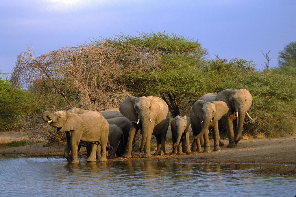 Elefantes no Kruger National Park, a atração mais famosa da província de Limpopo (foto: South Africa Tourism/Divulgação)