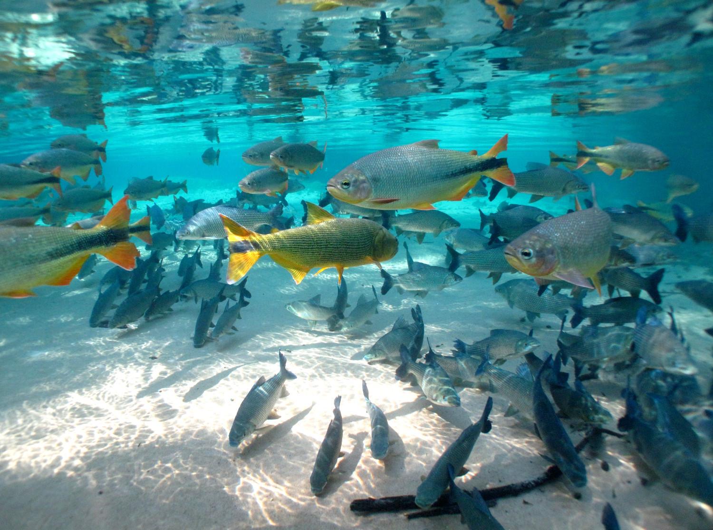 Cardume de peixes no Rio da Prata (foto: André Turatti/Divulgação)